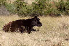 Black cow Stock Photography