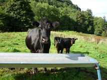 Black cow with calf. A black cow with its calf drinking water royalty free stock photos