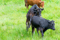 Black cow copulating in a pasture Royalty Free Stock Images