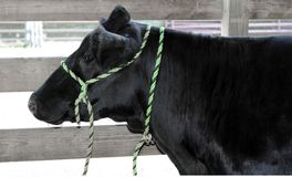 Black Angus cow at county fair show Stock Images