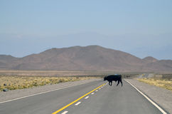 Black Cow Crossing in the Middle of the Road Royalty Free Stock Images