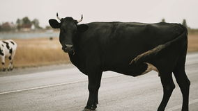 Black cow crossing the road stock video