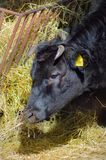 Black cow eating hay in its manger Royalty Free Stock Photo