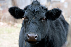 Black Cow Face Royalty Free Stock Image