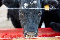 Black cow feeding on dry animal feed royalty free stock image