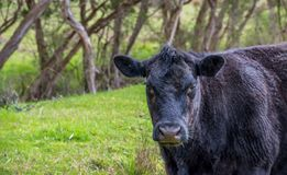 Black cow in the field. Black cow is looking straight into the camera stock photos