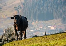 Black cow on grassy hillside above the village. Beautiful countryside scenery Royalty Free Stock Photos