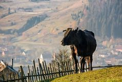 Black cow on grassy hillside above the village. Beautiful countryside scenery Royalty Free Stock Images