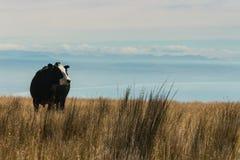 Black cow grazing Stock Photo