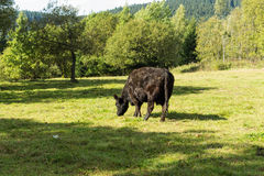 Black Cow grazing on green grass on a background of bright green bushes and trees. Spring landscape of rural locality Stock Image