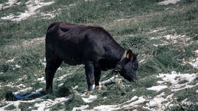 Black cow grazing on a green meadow. stock photo