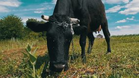 Black Cow Grazing on Meadow near the Village on Sky Background. Slow Motion stock footage