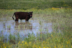 Black cow. Grazing on a pasture Royalty Free Stock Images
