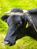 Black cow grazing in a pasture in the village royalty free stock images