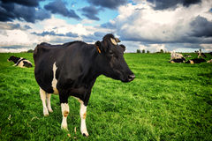 Black cow at green field. Black cow with herd at green field royalty free stock photos