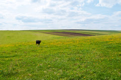 Black cow on green fields Royalty Free Stock Images