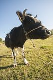 Black Cow on Green Grass Field stock photography