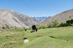 Black cow, green grass meadow pasture and mountain landscape Royalty Free Stock Images