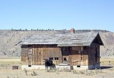 Black Cow Guarding Abandoned Shack Stock Photo