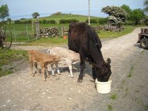 Black cow with her Newly born calves. In a pen on a farm Royalty Free Stock Photography