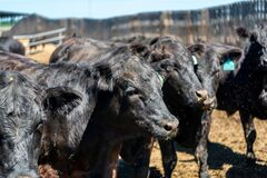Free Black Cow In The Pasture. Stock Photos - 218752983