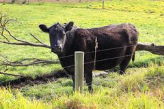 Black cow looking at camera Stock Image