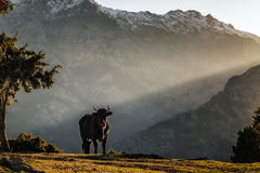 Black cow looking to camera in mountains of Corsica Royalty Free Stock Photos
