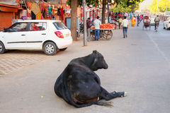 Black cow lying at Johari Bazzar Street in Jaipur, Rajasthan, In Stock Photography