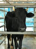Black cow in metal cage fence Royalty Free Stock Images