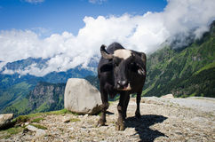 Black cow on mountain pasture Stock Images