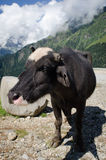 Black cow on mountain pasture Royalty Free Stock Photography