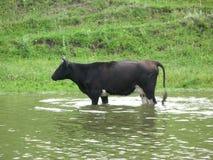 Black cow near a bank Stock Photography