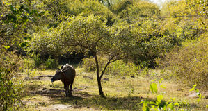 Black cow ox cooling down in the shadow taking shelter underneath small green tree. Royalty Free Stock Images