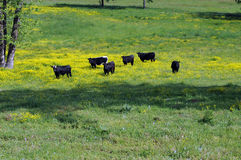 Black cow pose. Black cows in yellow field of wildflowers royalty free stock photos