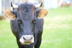 Black cow. With spaced ears and looking at the camera royalty free stock photography