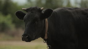Black cow staing among green field in the village