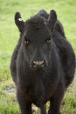 Black Cow. Standing in a paddock Royalty Free Stock Image