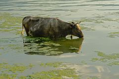 Black cow standing in the water of river Danube, drinking stock images