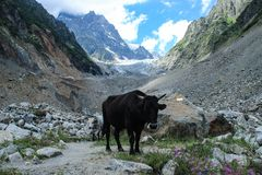 A black cow stands in a colorful valley against the backdrop of Mount Ushba in Svaneti stock photography