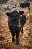 Black Cow Stands in Feed Lot Stock Image