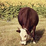 Black cow on sunflower field background Royalty Free Stock Photo