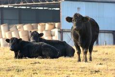 Black cow stock photography