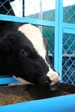 Black cow with a white face drinking water on a farm in the paddock stock images