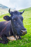 The black cow's head Royalty Free Stock Photos