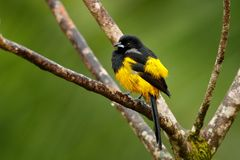 Black-cowled Oriole, Icterus prosthemelas, sitting on the green branch. Tropic bird in the nature habitat. Wildlife in Costa Rica. royalty free stock images