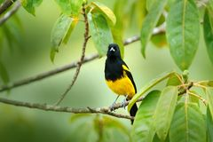 Black-cowled Oriole, Icterus prosthemelas, sitting on the green moss branch. Tropic bird in the nature habitat. Wildlife in Costa stock photography