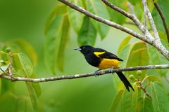 Black-cowled Oriole, Icterus prosthemelas, sitting on the green moss branch. Tropic bird in the nature habitat. Wildlife in Costa royalty free stock images