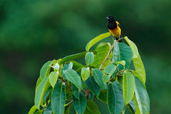 Black-cowled Oriole, Icterus prosthemelas, sitting on the green moss branch. Tropic bird in the nature habitat. Wildlife in Costa royalty free stock photo