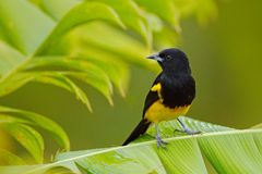 Black-cowled Oriole, Icterus prosthemelas, sitting on the green palm branch. Tropic bird in the nature habitat. Wildlife in Costa. Rica. Yellow black mountain royalty free stock photos