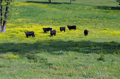 Black cows. Stand out amid yellow wildflower field royalty free stock photos
